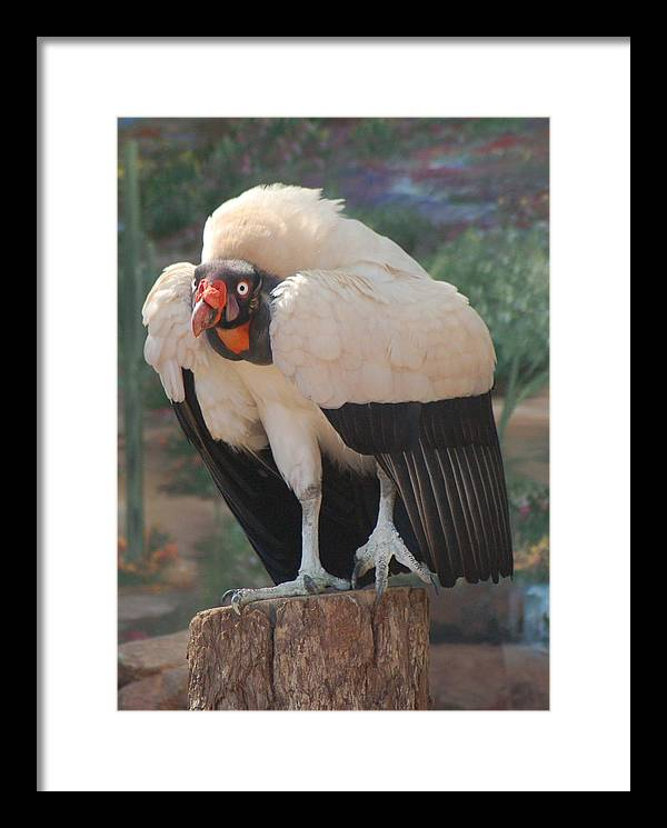 King Vulture Framed Print featuring the photograph King Vulture 1 by Susan Heller