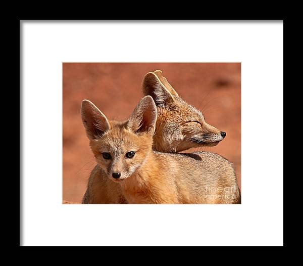 Fox Framed Print featuring the photograph Kit Fox Pup Snuggling With Mother by Max Allen