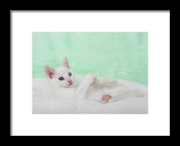 Heterochromia Framed Print featuring the photograph Kittens Play With Toes Too by Sheila Fitzgerald