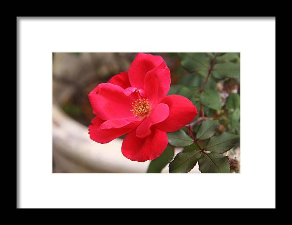 Floral Framed Print featuring the photograph Knockout Red by Paul Anderson