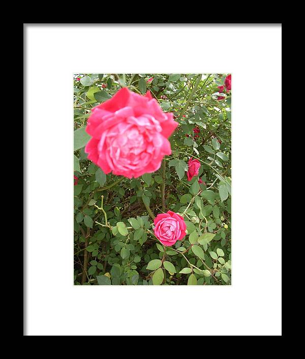 Knockout Roses Framed Print featuring the photograph Knockout Roses by Warren Thompson