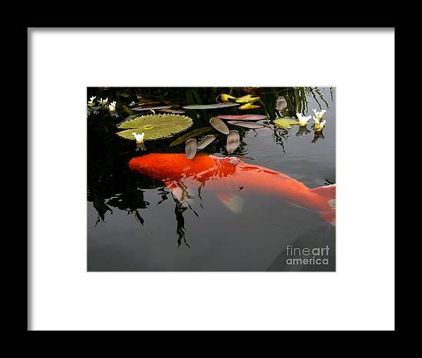 Koi Framed Print featuring the photograph Koi Fish 4 by Marta Robin Gaughen