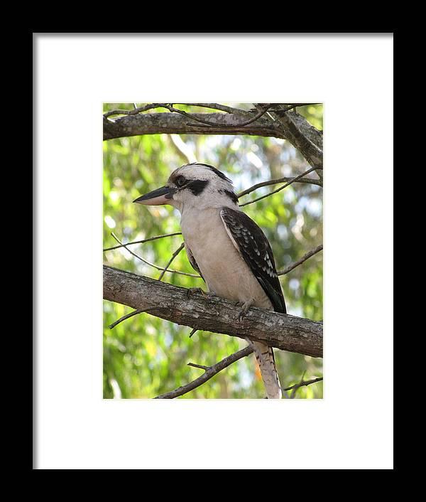Wildlife Framed Print featuring the photograph Kookaburra by Derek Donoghue
