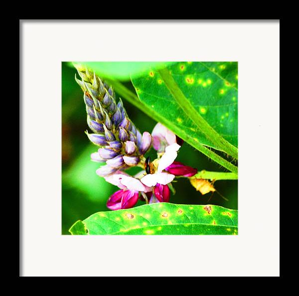 Flower Framed Print featuring the photograph Kudzoo Flower by Lisa Johnston