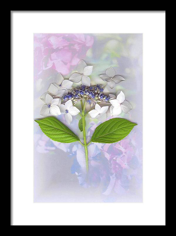 Lacecap Hydrangea Framed Print featuring the mixed media Lacecap Hydrangea by Sandi F Hutchins