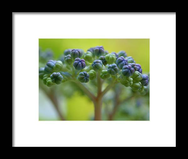 Macro Flower Lace-cap Hydrangea Tree Bud Nature Jeremy Wolff Photograph Framed Print featuring the photograph Lacecap by Jeremy Wolff