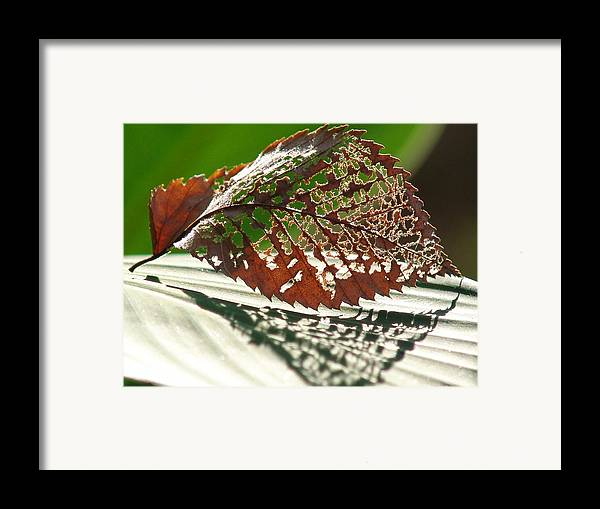 Leaf Framed Print featuring the photograph Lacy Leaf by Kevin Callahan