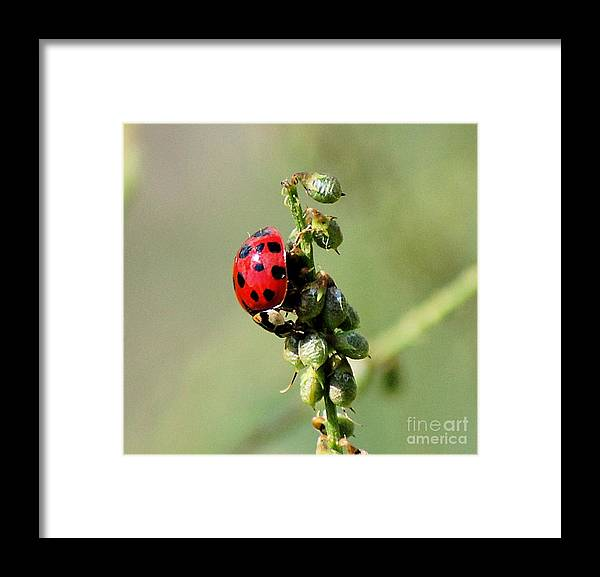 Landscape Framed Print featuring the photograph Lady Beetle by David Lane