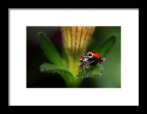 Lady Bug Framed Print featuring the photograph Lady Bug 1 by Darcy Dietrich