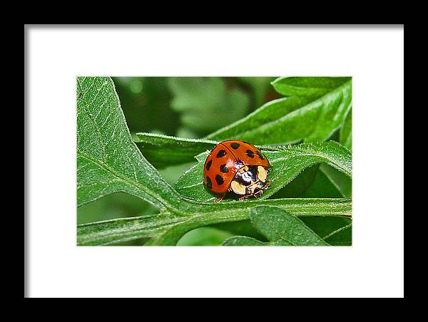 Bugs Framed Print featuring the photograph Lady Bug by Mary Halpin