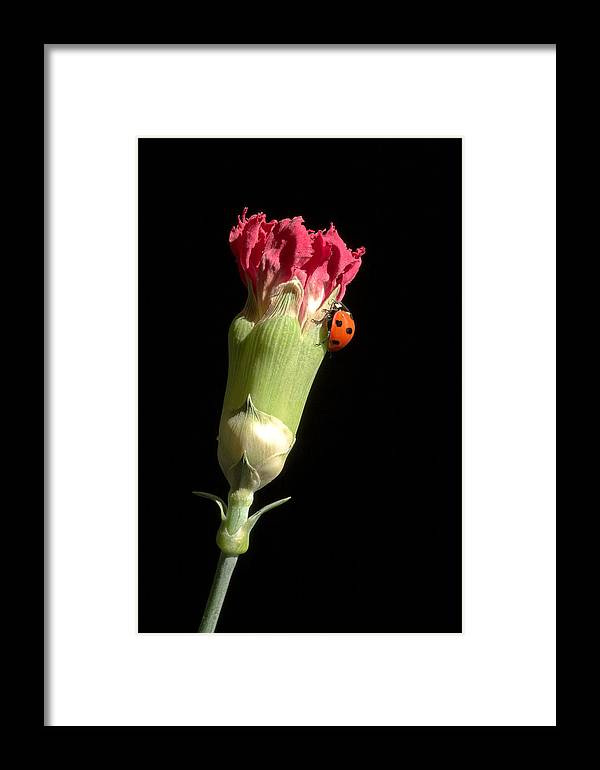 Lady Bug Framed Print featuring the photograph Lady Bug On Pink Flower by Pierre Leclerc Photography