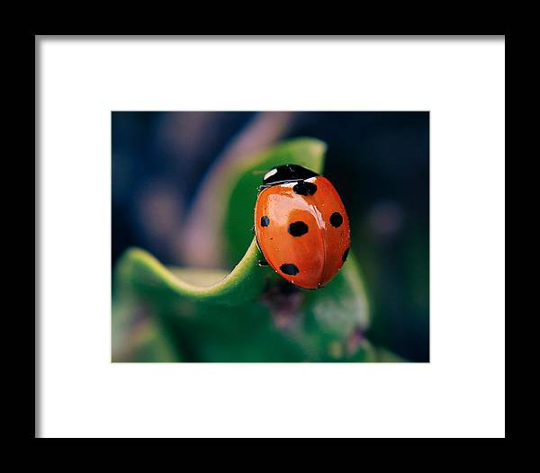 Ladybug Framed Print featuring the photograph Ladybug by Paul Gibson