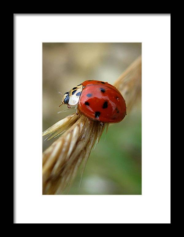 Animal Framed Print featuring the photograph Ladybug I by Michele Stoehr