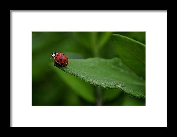 Animal Framed Print featuring the photograph Ladybug IIi by Michele Stoehr