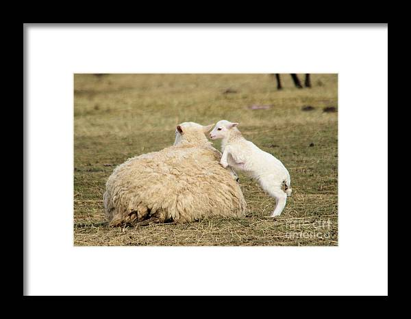 Sheep Framed Print featuring the photograph Lamb Jumping On Mom by Jeff Swan