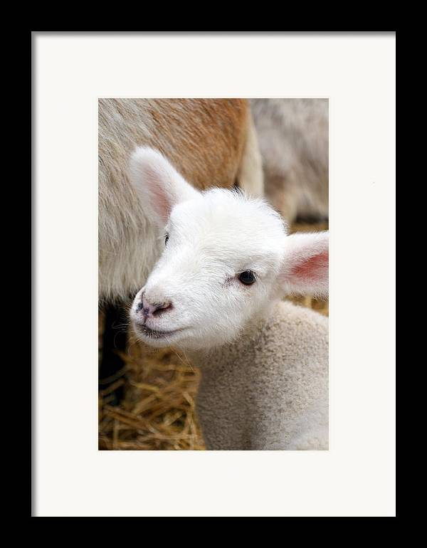 Grass Framed Print featuring the photograph Lamb by Michelle Calkins