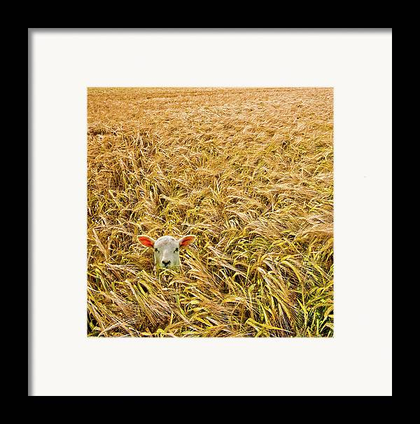 Sheep Framed Print featuring the photograph Lamb With Barley by Meirion Matthias