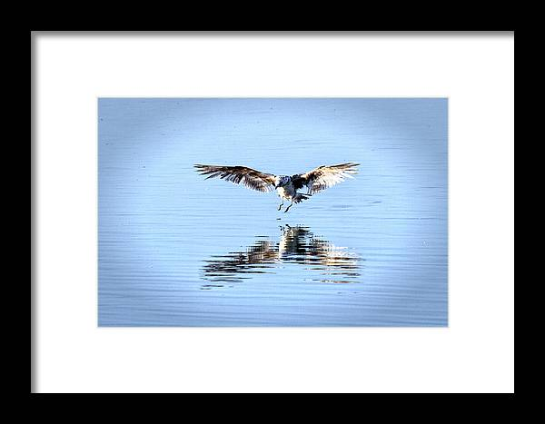 Gulls Framed Print featuring the photograph Landing Gull by Michael Riley