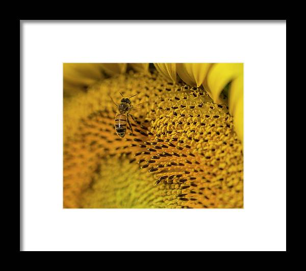 Bees Framed Print featuring the photograph Landing by Larry Helms