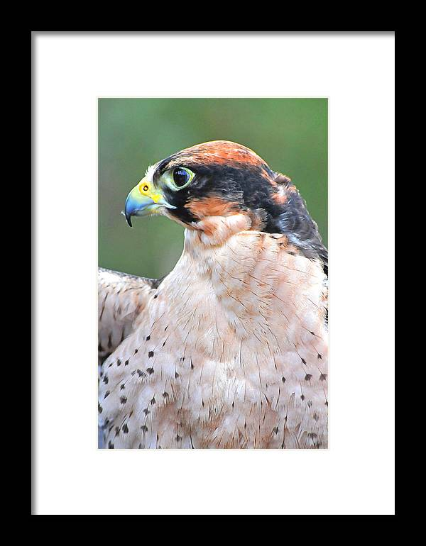 Lanner Falcon Framed Print featuring the photograph Lanner Falcon by Alan Lenk