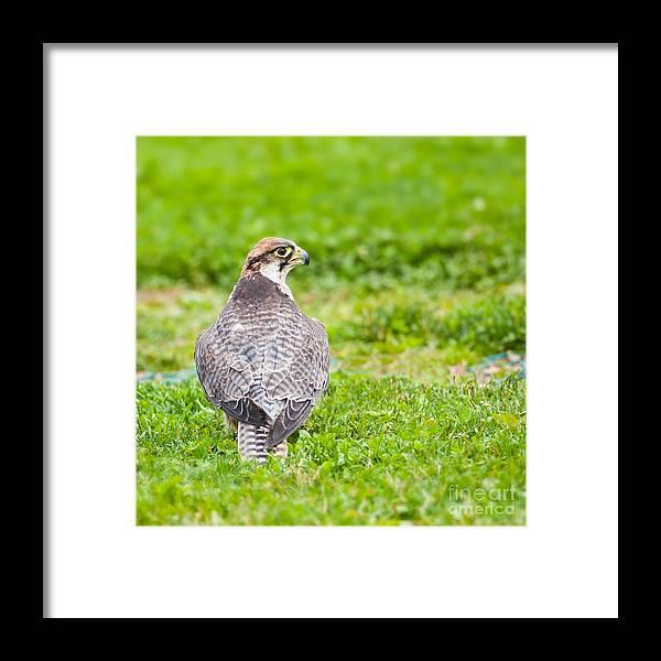 Bird Framed Print featuring the photograph Lanner Falcon by Gabriela Insuratelu
