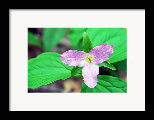 Trillium Framed Print featuring the photograph Large Flower Trillium by Alan Lenk