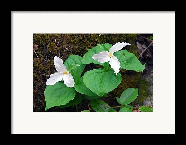 Large Flower Trillium Framed Print featuring the photograph Large Flower Trillium Pair by Alan Lenk