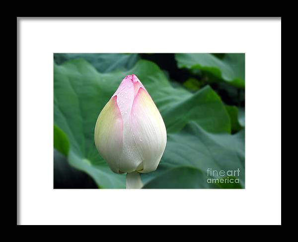 Large lotus flower bud framed print by yali shi lotus framed print featuring the photograph large lotus flower bud by yali shi mightylinksfo
