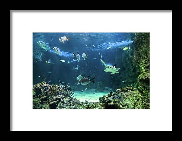 Amusement Framed Print featuring the photograph Large Sawfish And Other Fishes Swimming In A Large Aquarium by Miroslav Liska