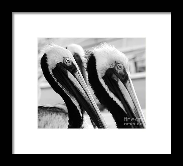 Pelican Framed Print featuring the photograph Larry, Moe And Curly by Carlos Amaro
