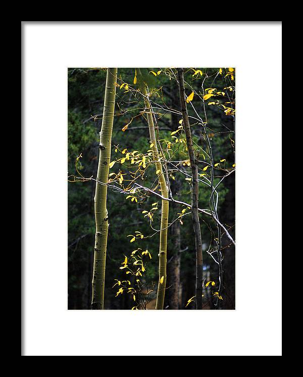 Aspen Framed Print featuring the photograph Late Aspen by Jerry McElroy