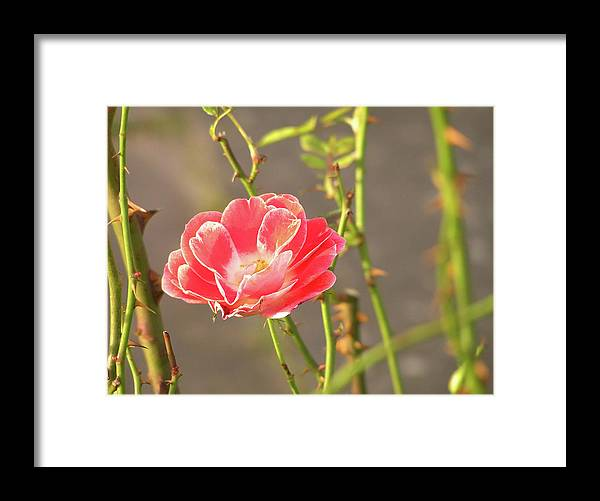 Nature Framed Print featuring the photograph Late Beauty Between Thorns by AugenWerk Susann Serfezi