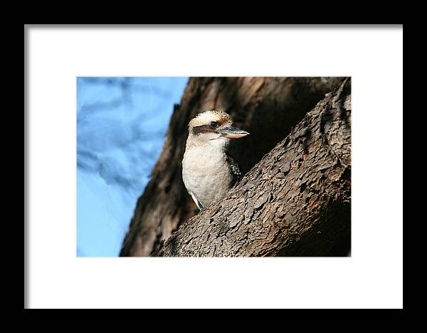 Kookaburra Framed Print featuring the photograph Laughing Kookaburra by Tony Brown