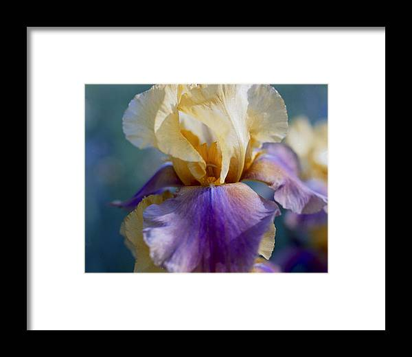 Iris Framed Print featuring the photograph Lavender And Gold Iris by George Ferrell