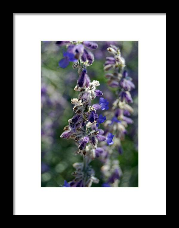Purple Framed Print featuring the photograph Lavender by Coralyn Klubnick Simone