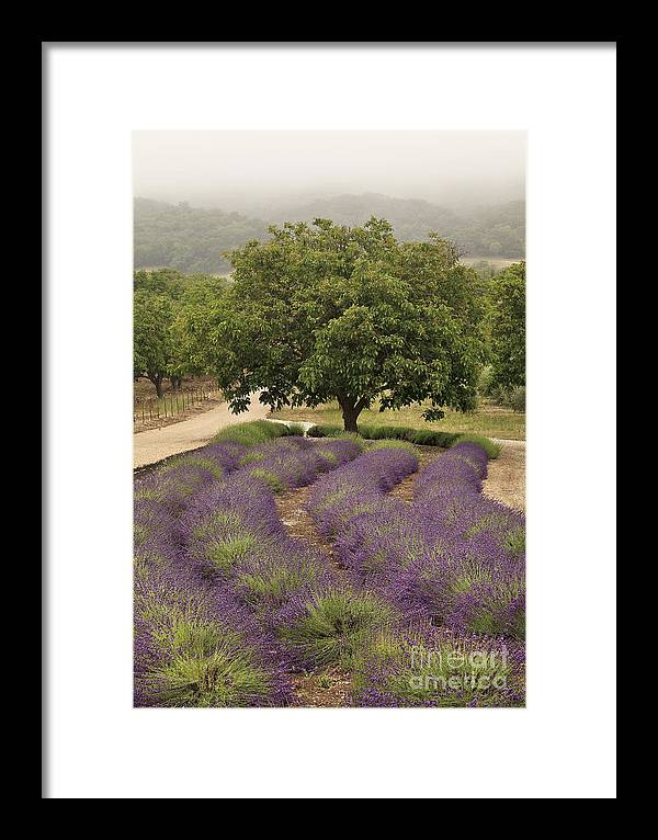 Lavender Framed Print featuring the photograph Lavender Field by Tim Hauf