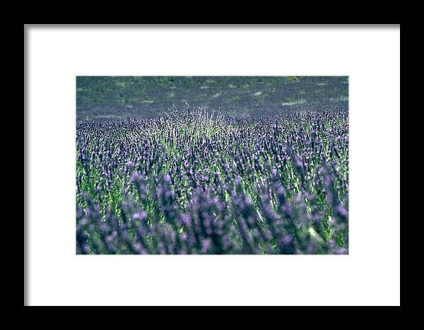 Lavender Framed Print featuring the photograph Lavender by Flavia Westerwelle