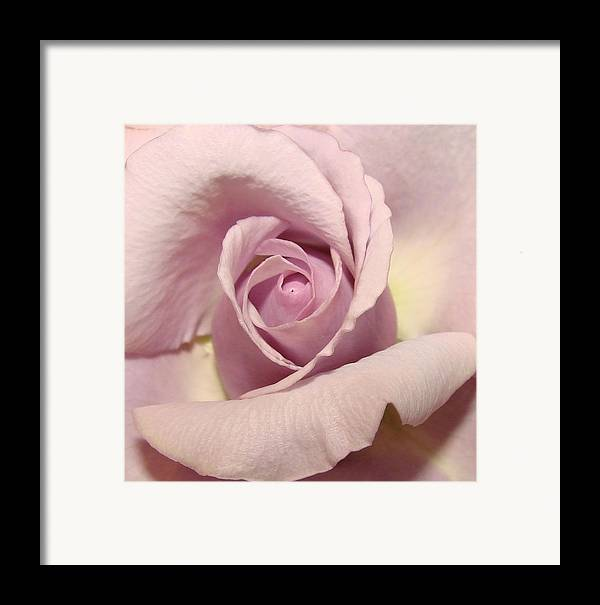 Flowers Framed Print featuring the photograph Lavender Mini Rose by Liz Vernand