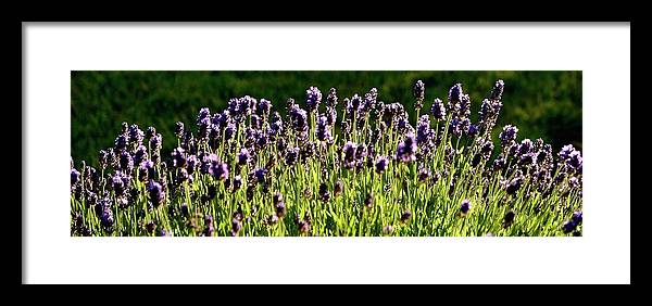 Willamette Framed Print featuring the photograph Lavender Pano by Jerry Sodorff