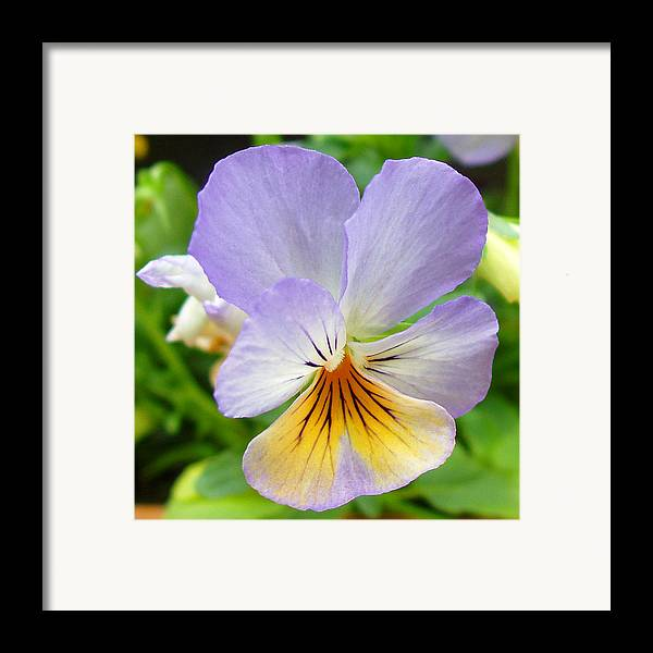 Pansy Framed Print featuring the photograph Lavender Pansy by Nancy Mueller
