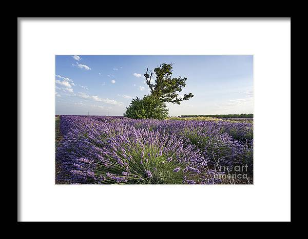 Agrarian Framed Print featuring the photograph Lavender Provence by Juergen Held