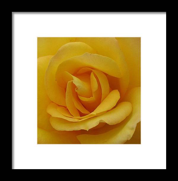Rosr Framed Print featuring the photograph Layers Of Petals by Kathy Roncarati