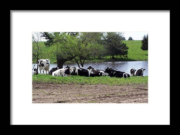 Cows Framed Print featuring the photograph Lazy Cows by Evelyn Patrick