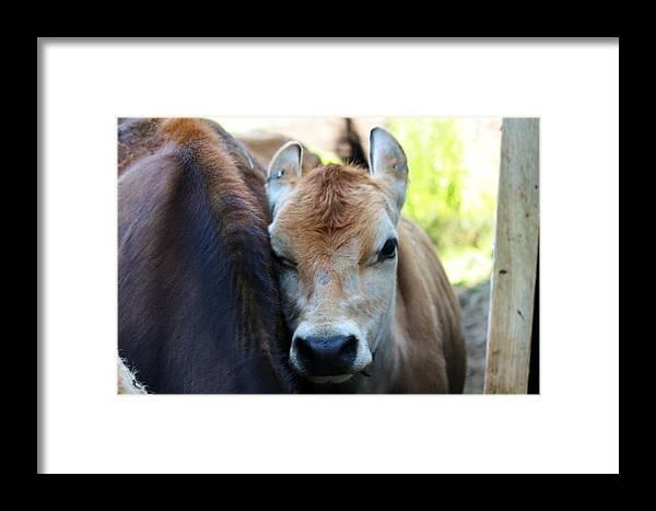 Cow Photograph Framed Print featuring the photograph Lean On Me by Bonnie Brann