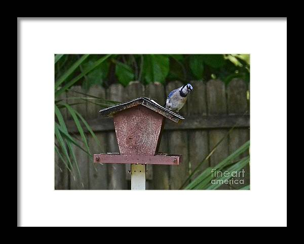 Blue Jay Framed Print featuring the photograph Leaning Left by Carol Bradley