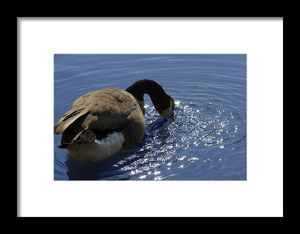 Canada Goose Framed Print featuring the photograph Leisure Time by Cathy Beharriell