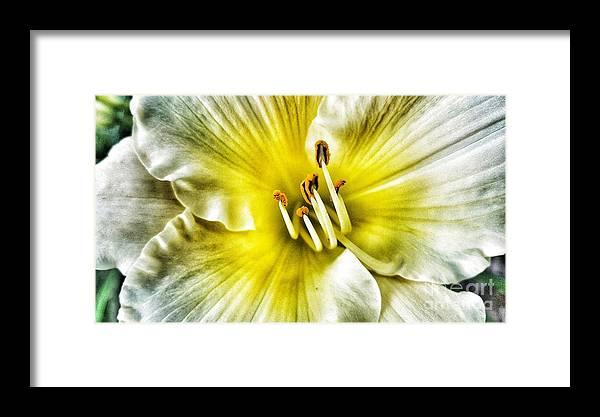 Daylilly Framed Print featuring the photograph Lemon Cream Daylilly by Rachel Hannah