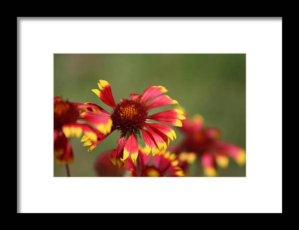 Coneflower Framed Print featuring the photograph Lemon Yellow and Candy Apple Red Coneflower by Colleen Cornelius
