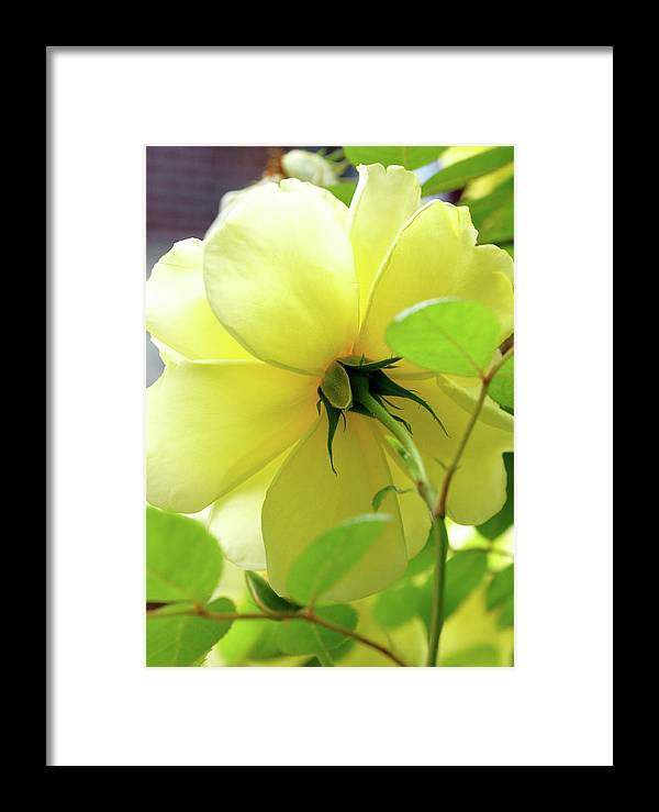 Yellow Framed Print featuring the photograph Lemon Yellow Rose by Cate Franklyn