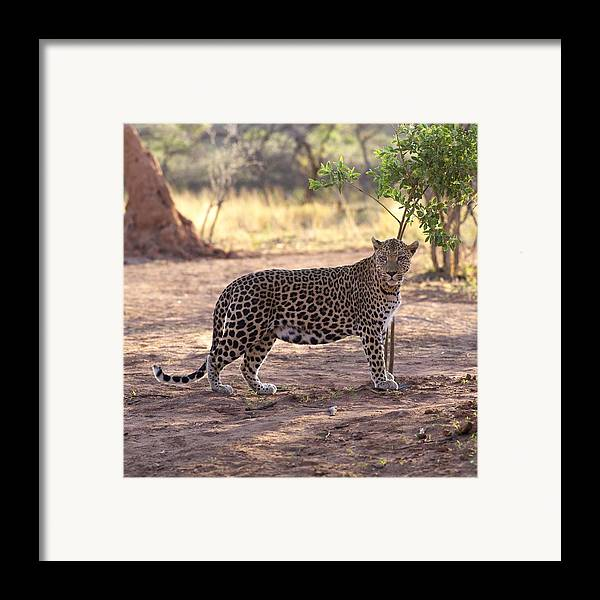 Animal Framed Print featuring the photograph Leopard by Keith Levit
